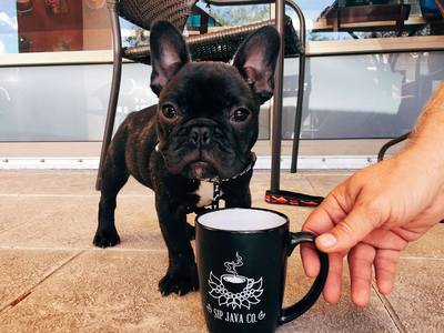 French Bulldog Puppy with Mug